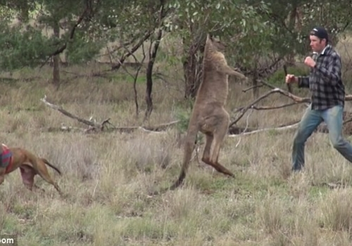 Man fights kangaroo