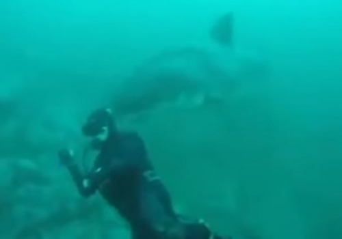 Great White Shark Almost Gobbles Up Diver