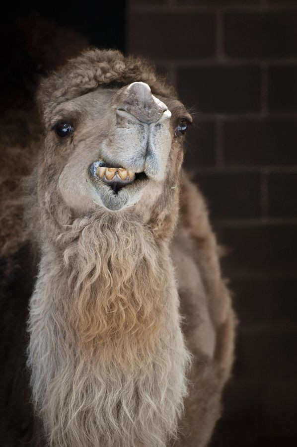 Camel Got Your Toe?
