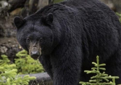 A Bear Invades a…